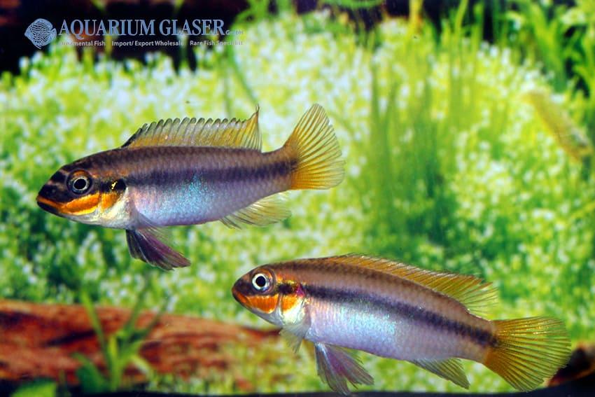 Pelvicachromis taeniatus Bipindi 5
