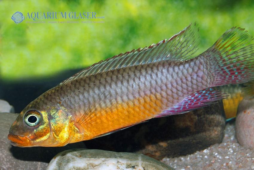 Pelvicachromis taeniatus Bipindi 4
