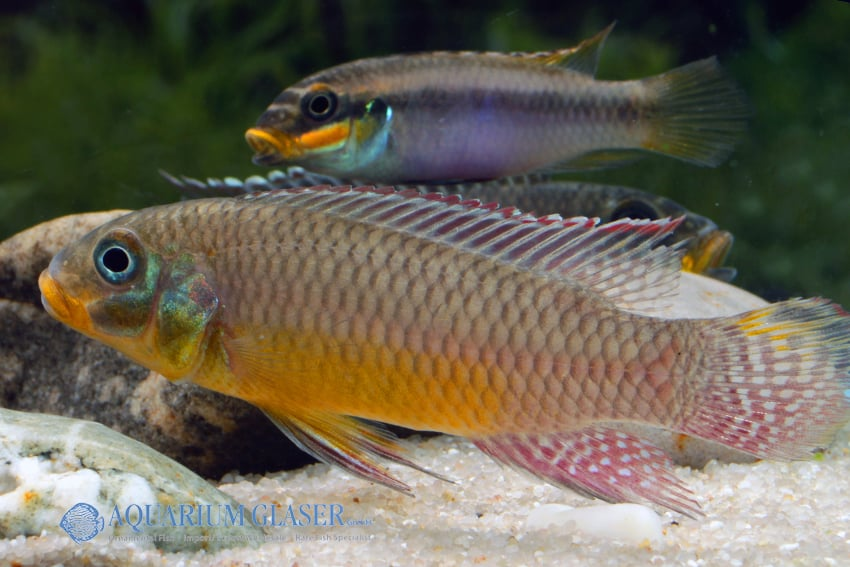 Pelvicachromis taeniatus Bipindi 3