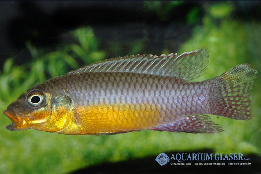 Pelvicachromis taeniatus Bipindi 1