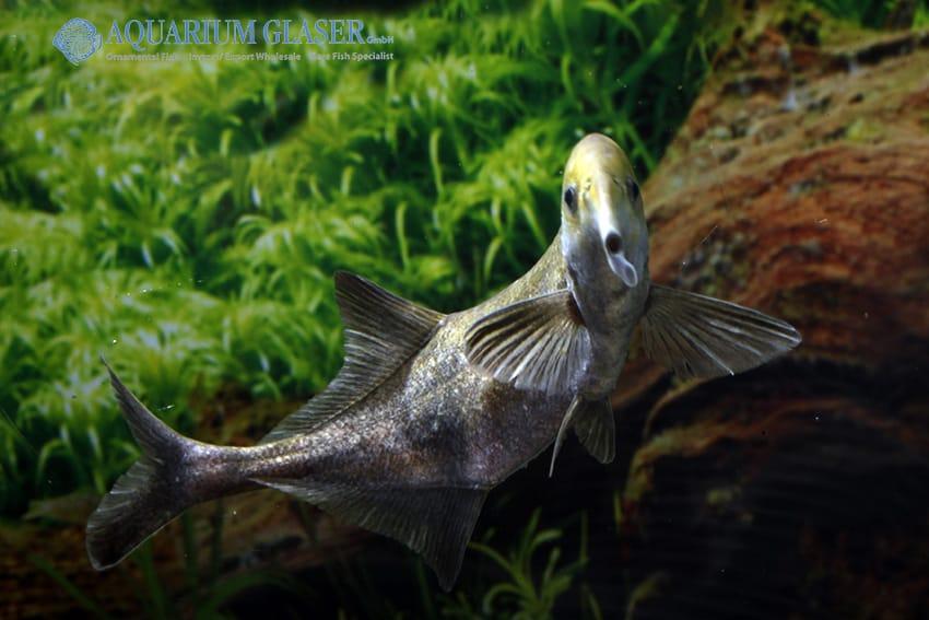 Campylomormyrus compressirostris - Elefantenfisch 5