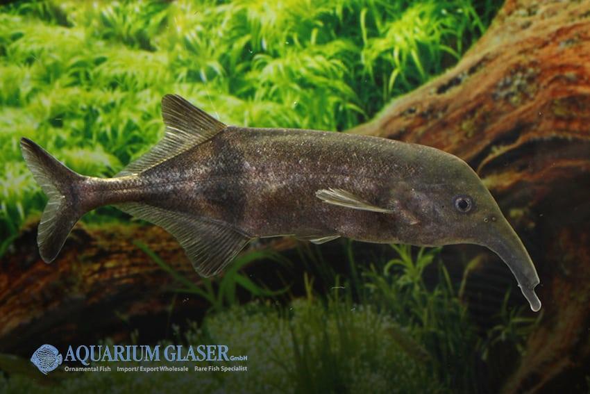 Campylomormyrus compressirostris - Elefantenfisch 4