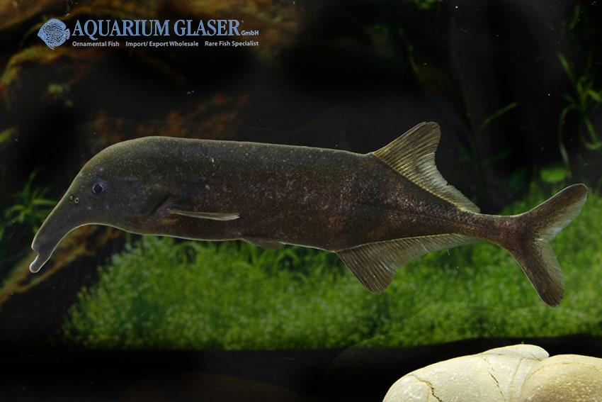 Campylomormyrus compressirostris - Elefantenfisch 2