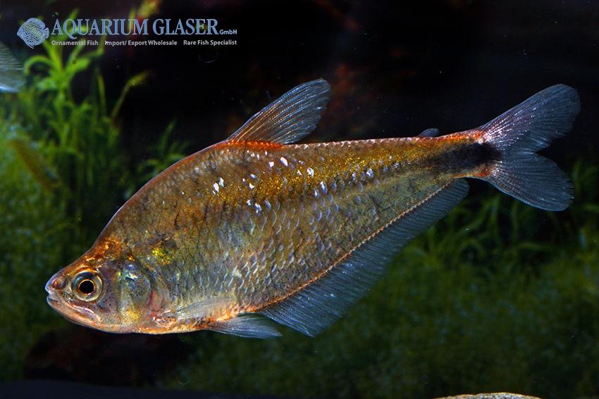 Charax stenopterus 2