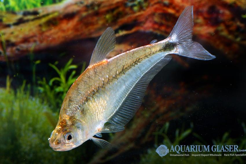 Charax stenopterus 1