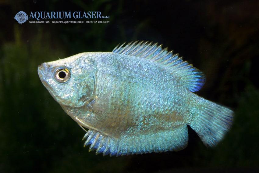 Colisa lalia - Zwergfadenfisch 8