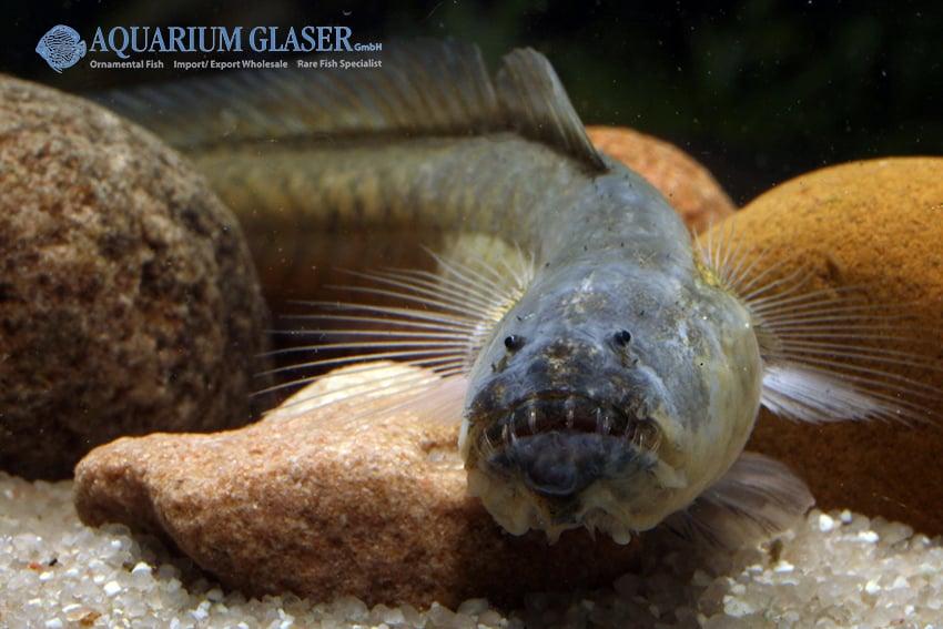 Odontamblyopus rubicundus 3