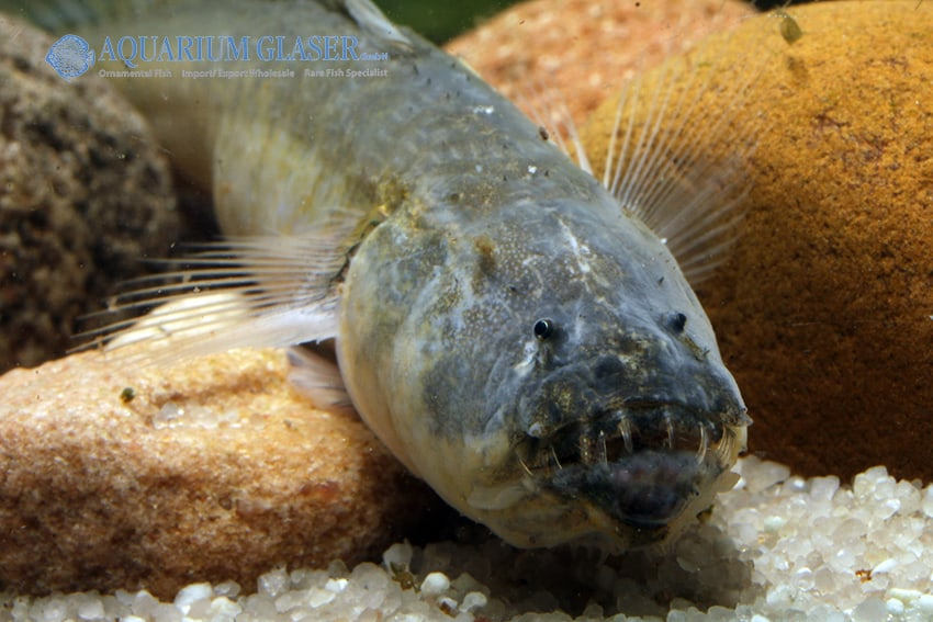 Odontamblyopus rubicundus 2