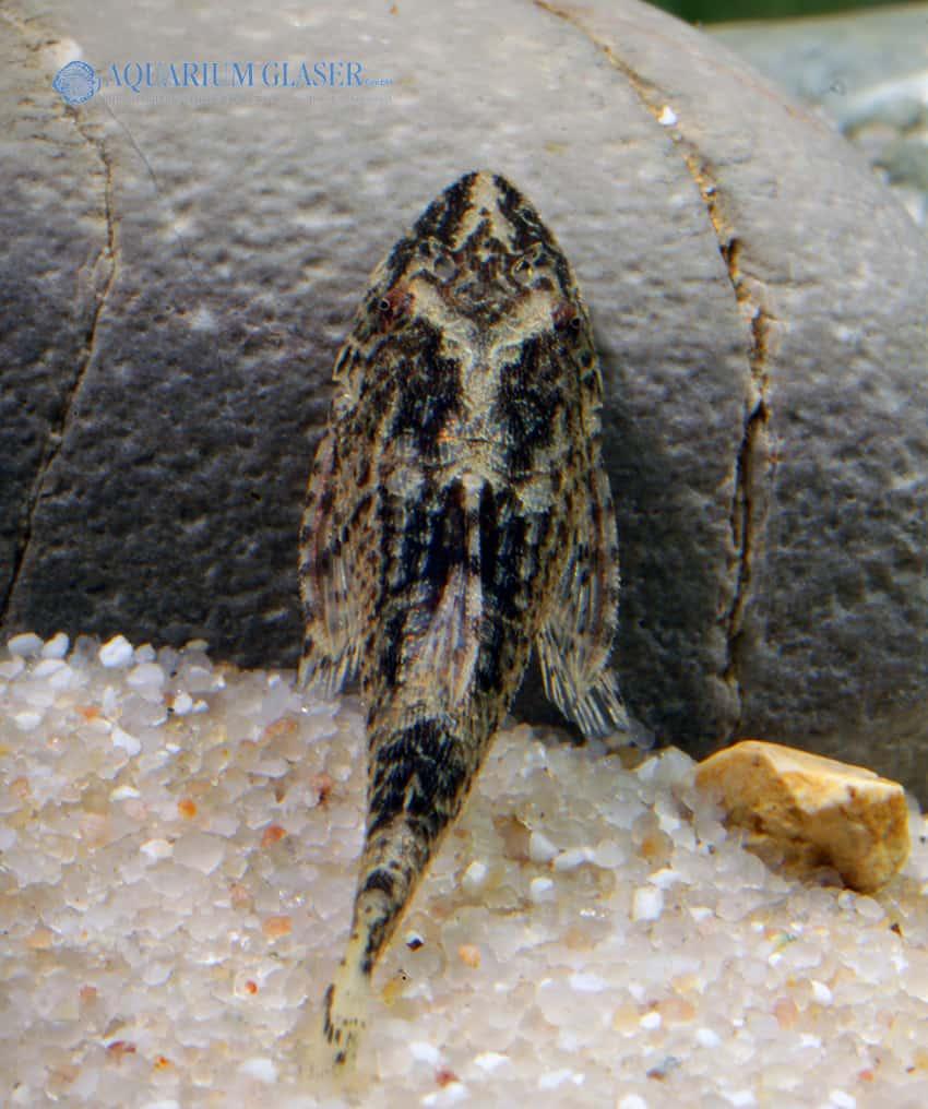Parotocinclus longirostris 2