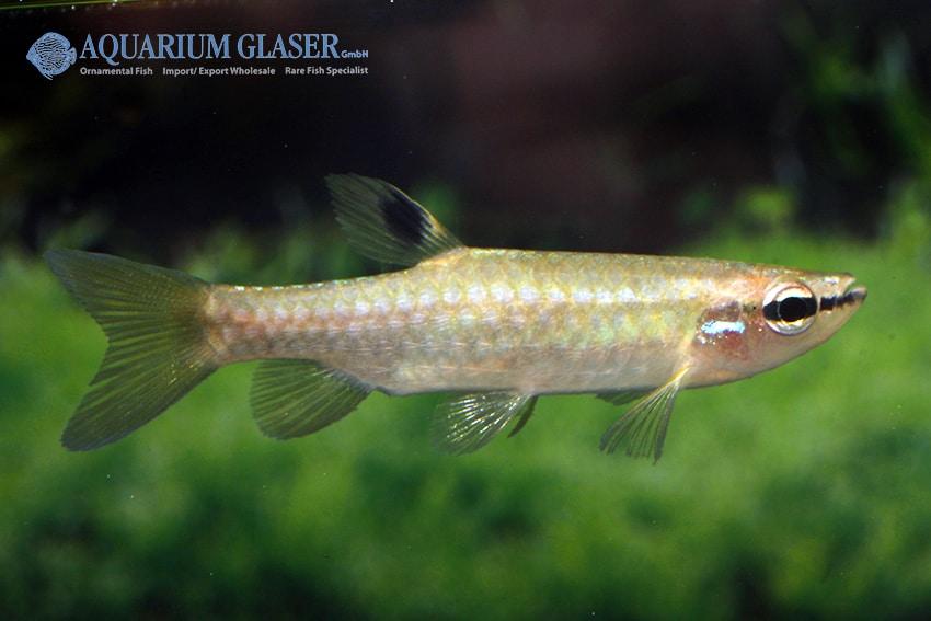Pyrrhulina australis 3