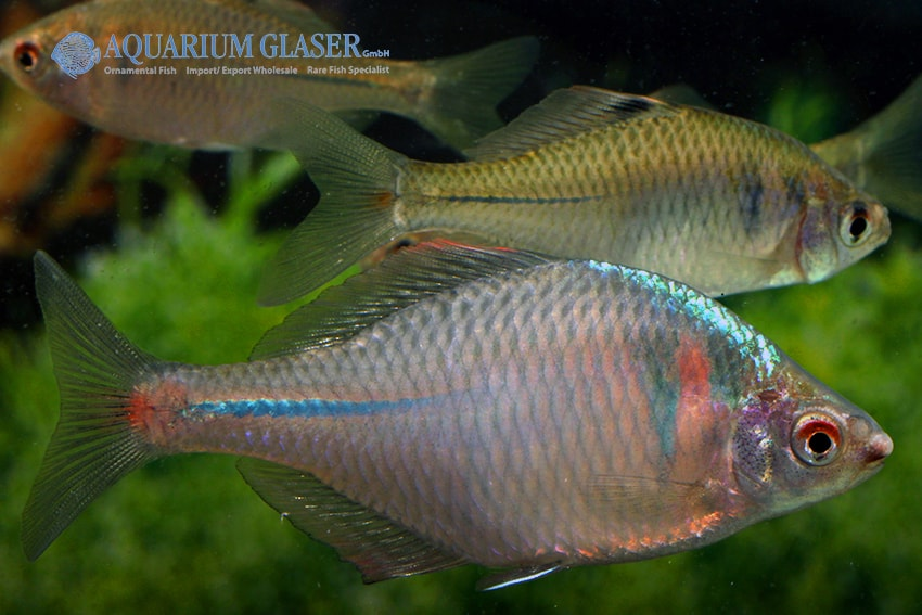 Paar - Quelle: Aquarium Glaser