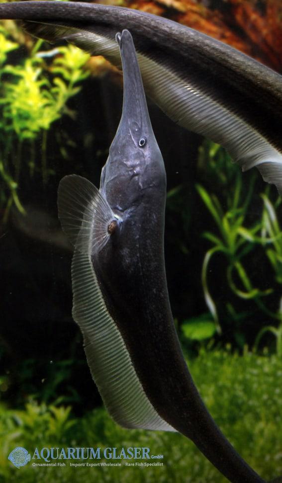 Sternarchorhynchus goeldii 7