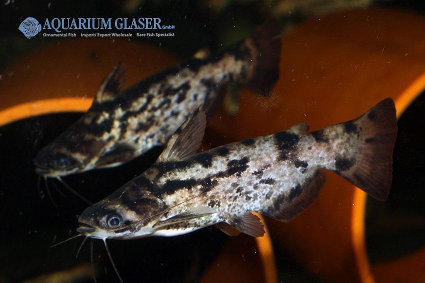 Trachelyopterus fisheri - Schwemmholz-Wels 6