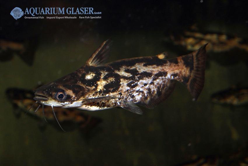 Trachelyopterus fisheri - Schwemmholz-Wels 5