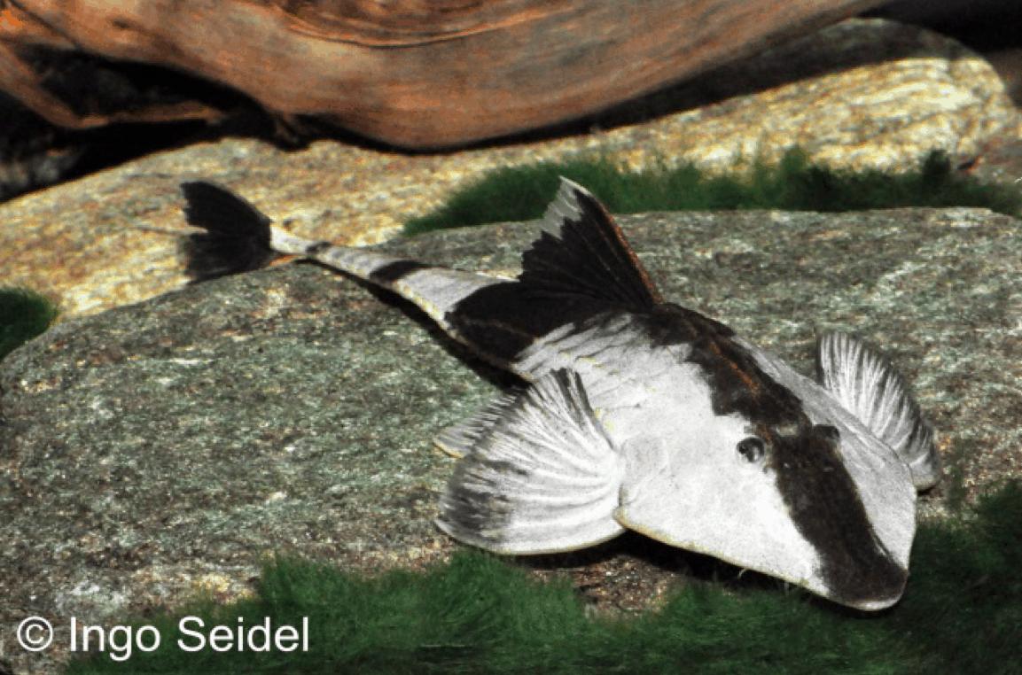 Pseudohemiodon apithanos - Chamäleon-Flunderharnischwels 2