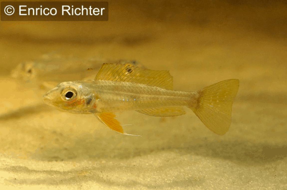 "Biotoecus opercularis ""Curua"" - Sandhügel-Zwergcichlide 2"