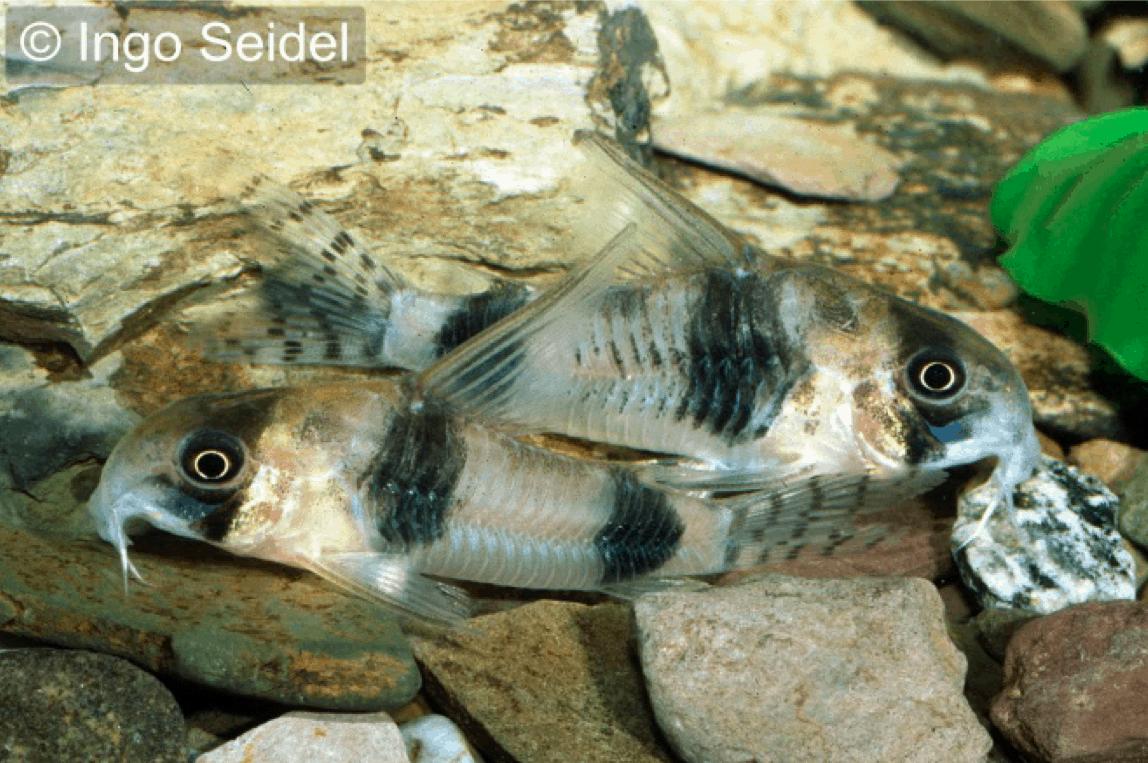 Corydoras tukano - Tukano-Panzerwels 1