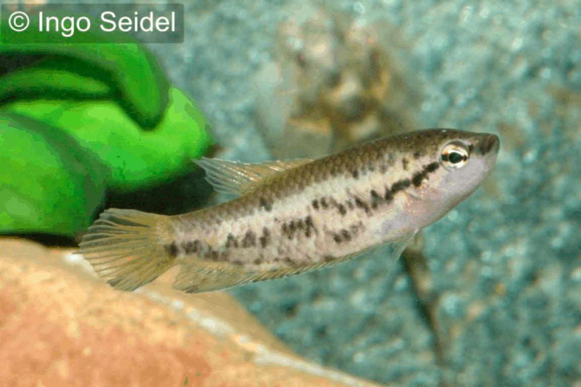 Malpulutta kretseri gefleckter spitzschwanguramis my fish for Seltene zierfische