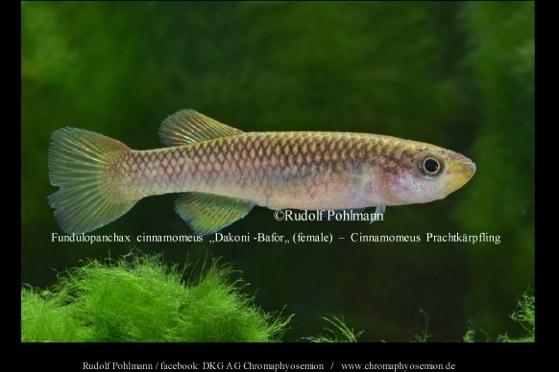Fundulopanchax cinnamomeus – Cinnamomeus Prachtkärpfling 1