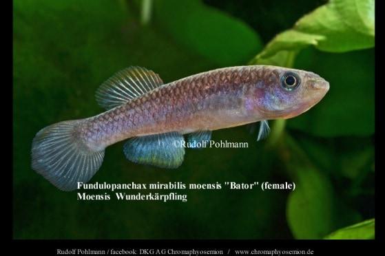 Fundulopanchax mirabile moensis – Moensis Wunderkärpfling 1