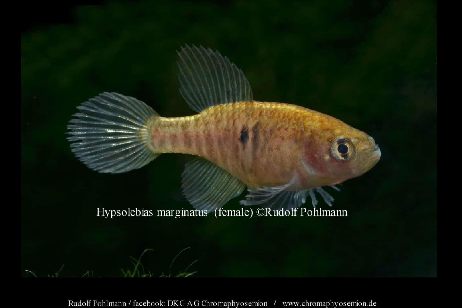 Hypsolebias marginatus – Marginatus Kleiner Fächerfisch 1