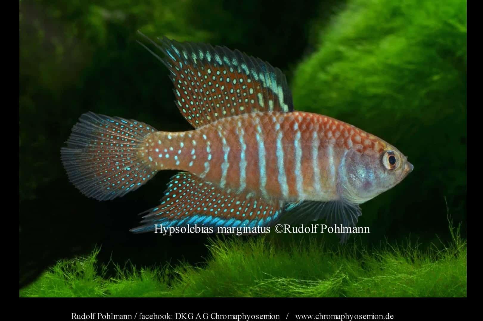 Hypsolebias marginatus – Marginatus Kleiner Fächerfisch 2