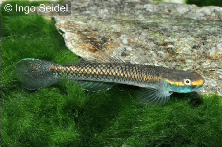 Stiphodon semoni - Neongrundel 2