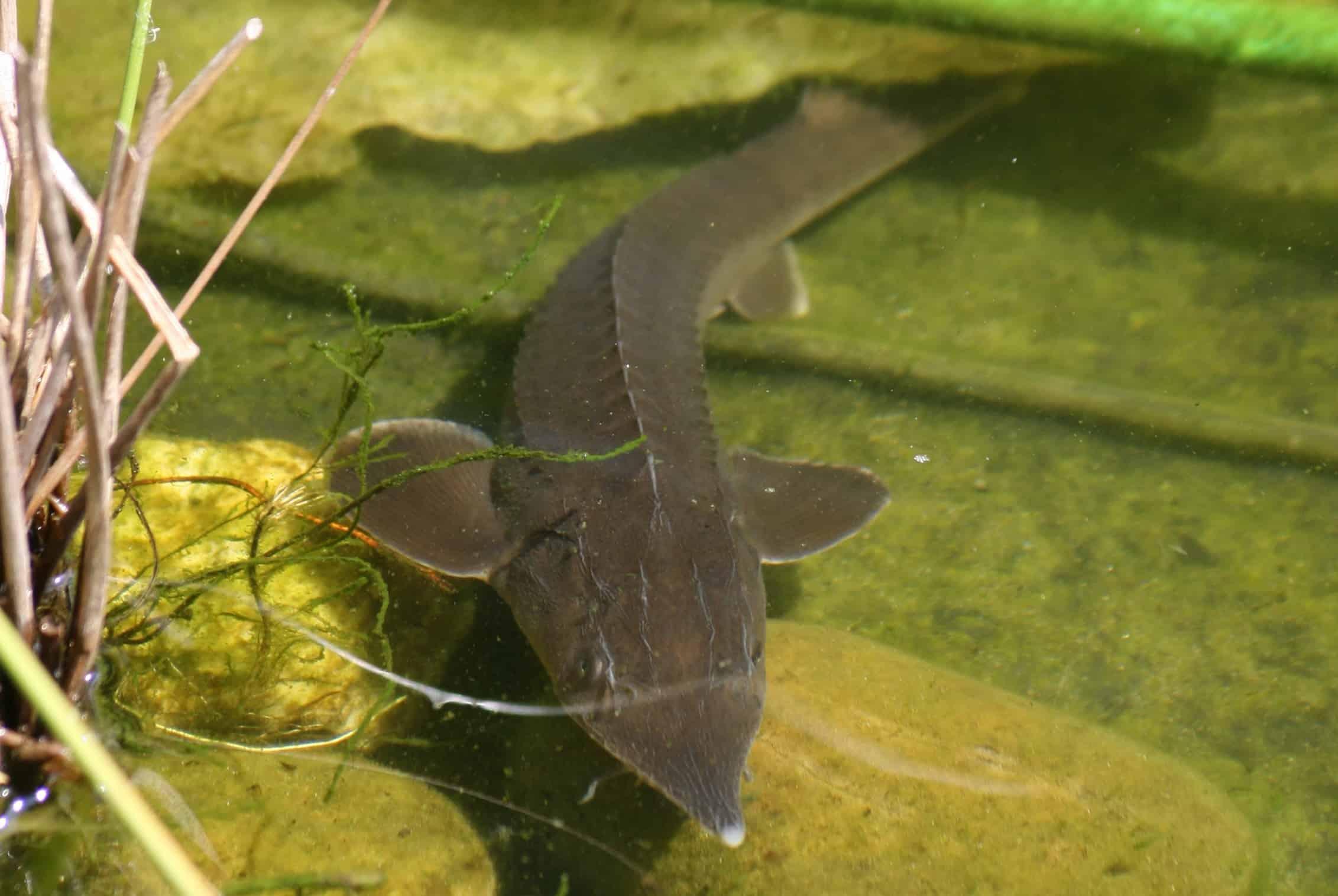 gartenteichfische im herbst und winter muss man sie f ttern oder nicht my fish. Black Bedroom Furniture Sets. Home Design Ideas