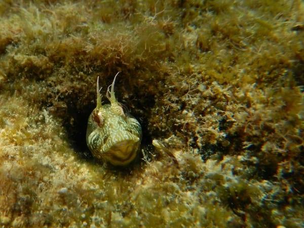 Foto: Gehörnter Schleimfisch von Klaus Lampe