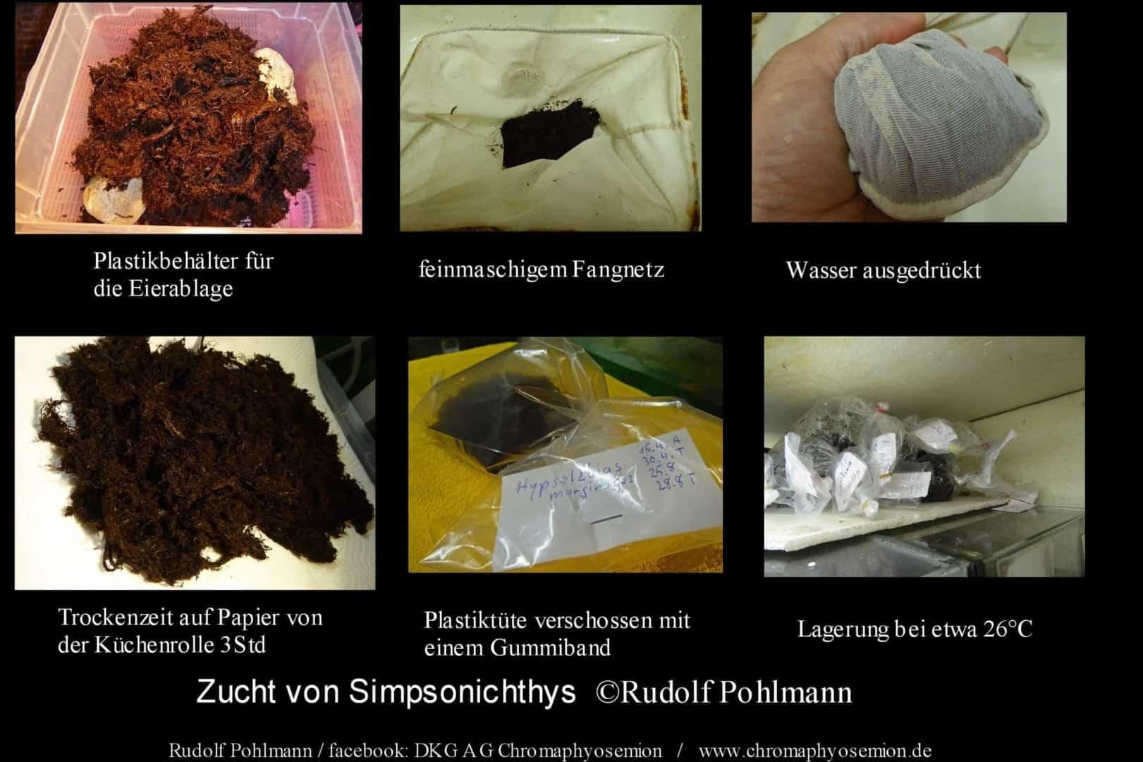 Simpsonichthys punctulatus – Punctulatus kleiner Fächerfisch 3