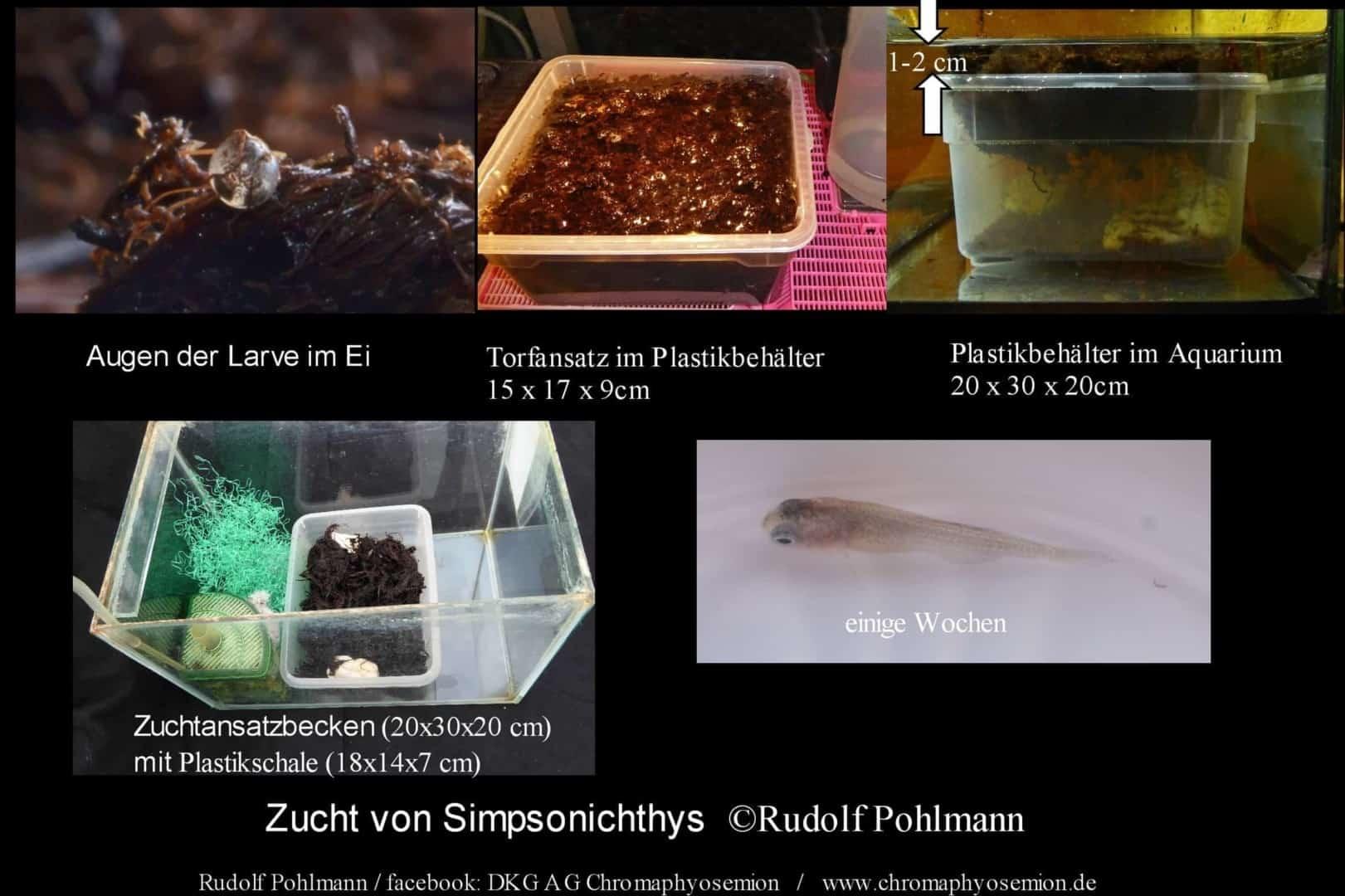 Simpsonichthys punctulatus – Punctulatus kleiner Fächerfisch 2