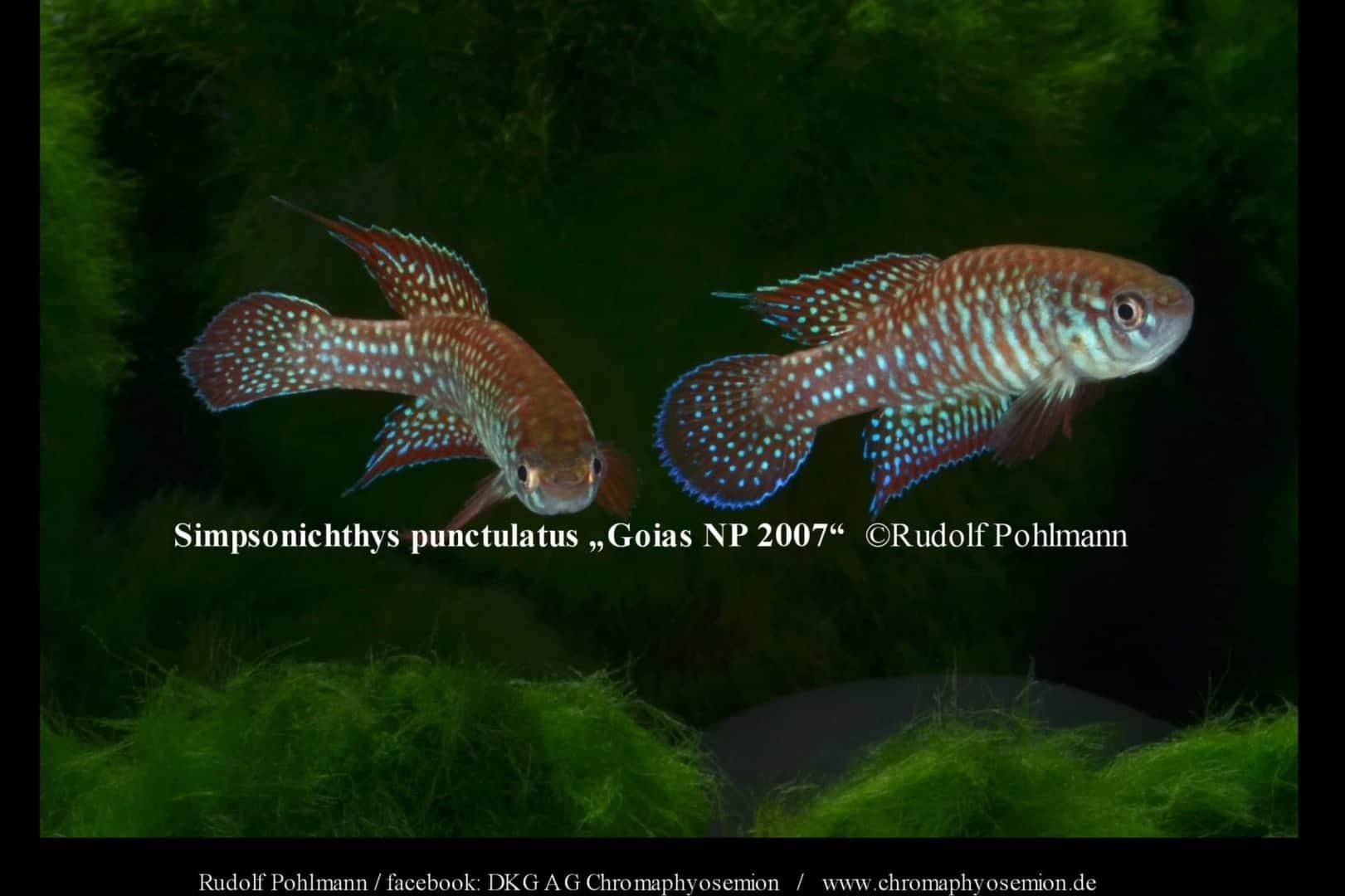 Simpsonichthys punctulatus – Punctulatus kleiner Fächerfisch 5