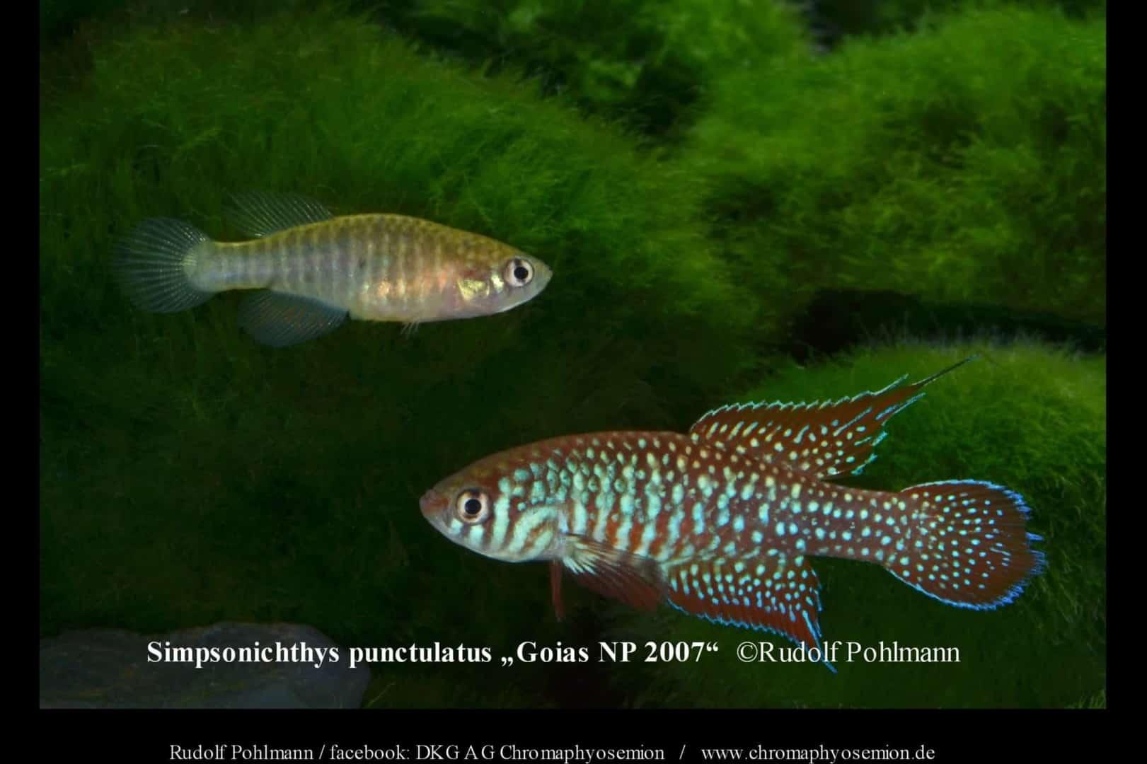 Simpsonichthys punctulatus – Punctulatus kleiner Fächerfisch 4