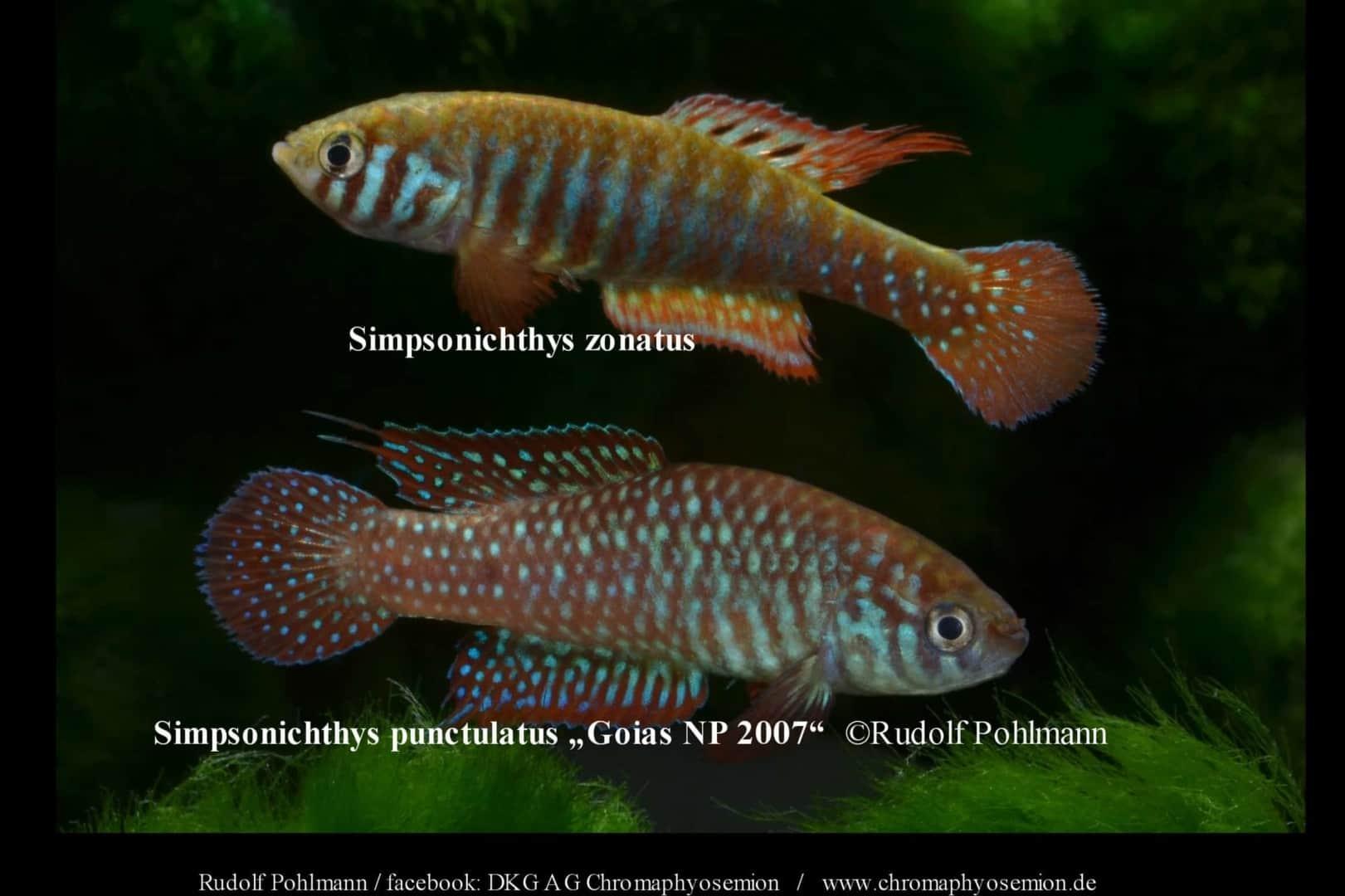 Simpsonichthys punctulatus – Punctulatus kleiner Fächerfisch 1