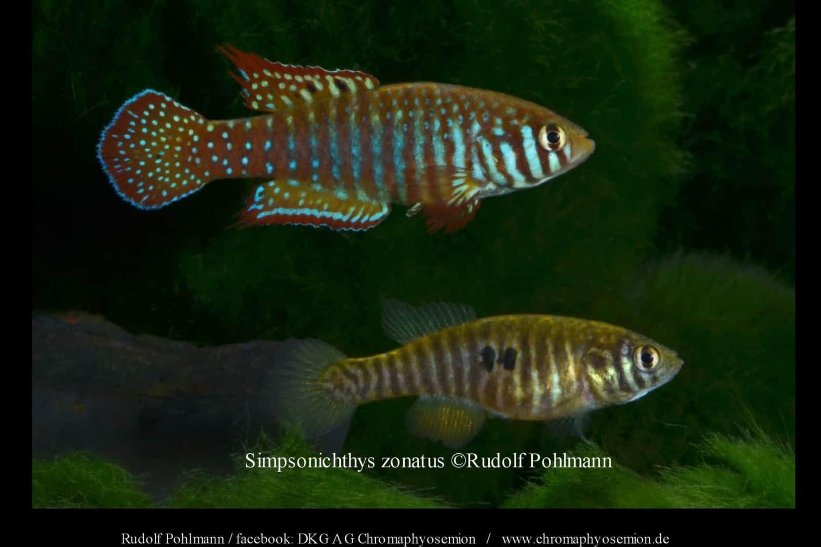 Simpsonichthys zonatus – Zonatus kleiner Fächerfisch 2