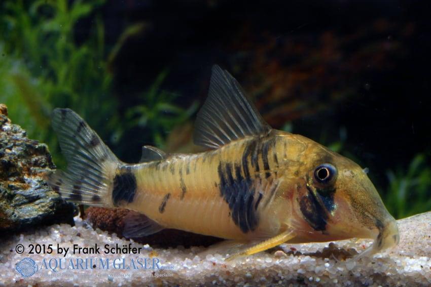 Corydoras tukano - Tukano-Panzerwels 3