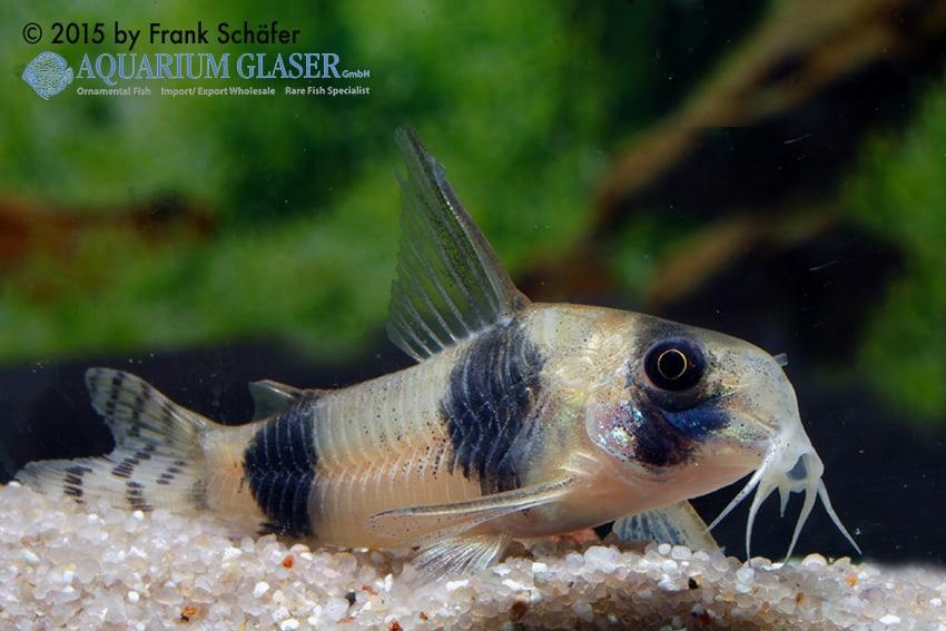 Corydoras tukano - Tukano-Panzerwels 5