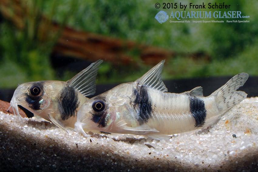 Corydoras tukano - Tukano-Panzerwels 6