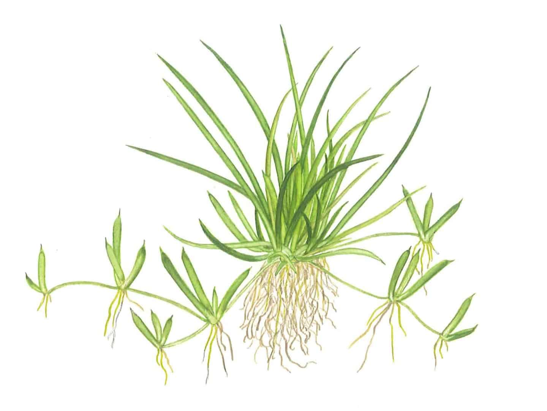 Littorella uniflora 2