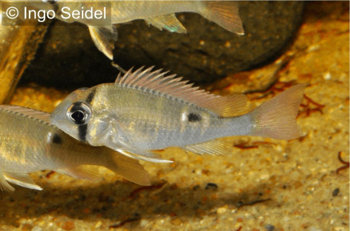 Biotodoma spec cupido schwanzstreifenbuntbarsch my fish for Robuste zierfische
