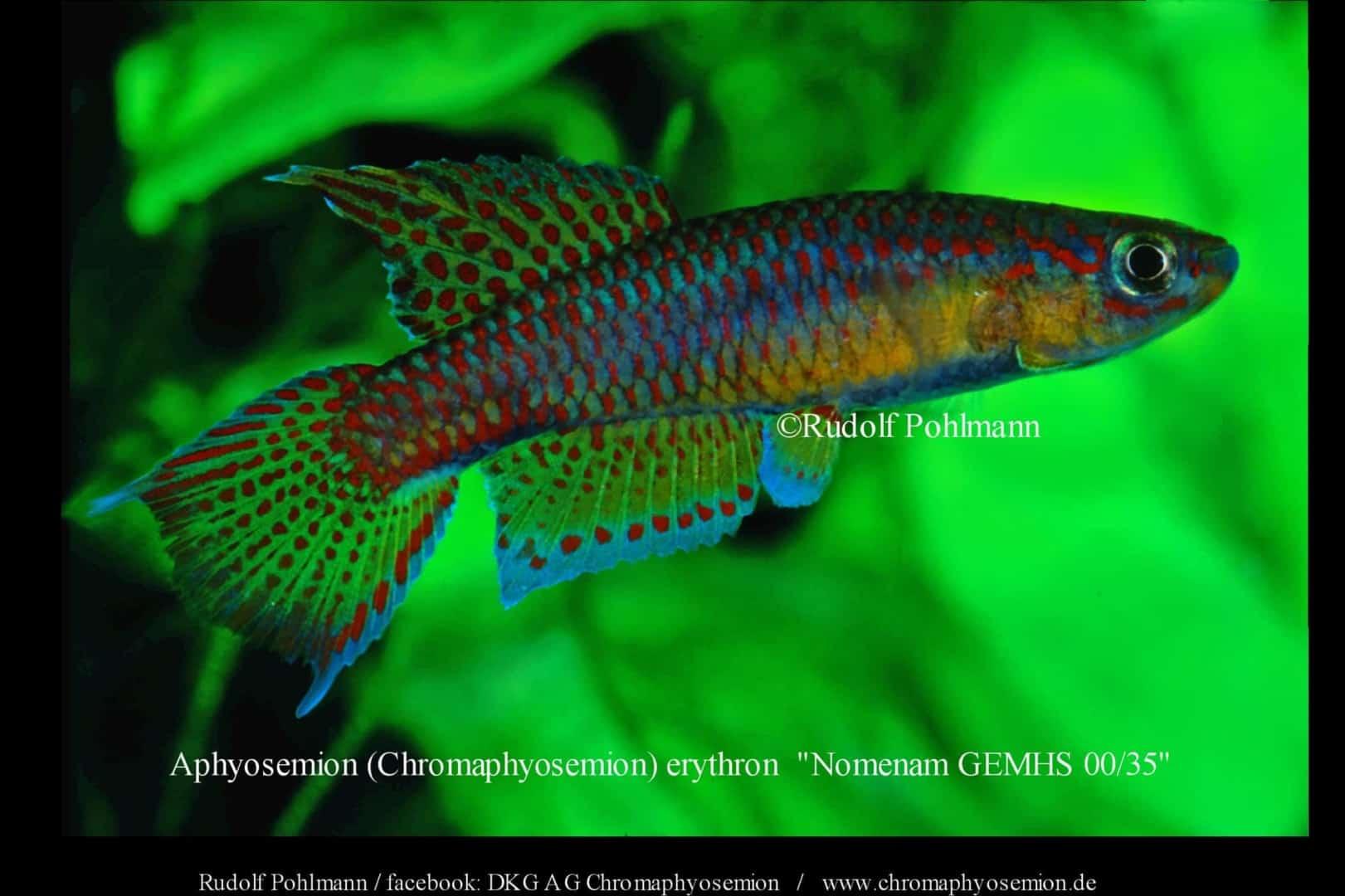 Aphyosemion (Chromaphyosemion) erythron – Erythron Zweistreifen Prachtkärpfling 4