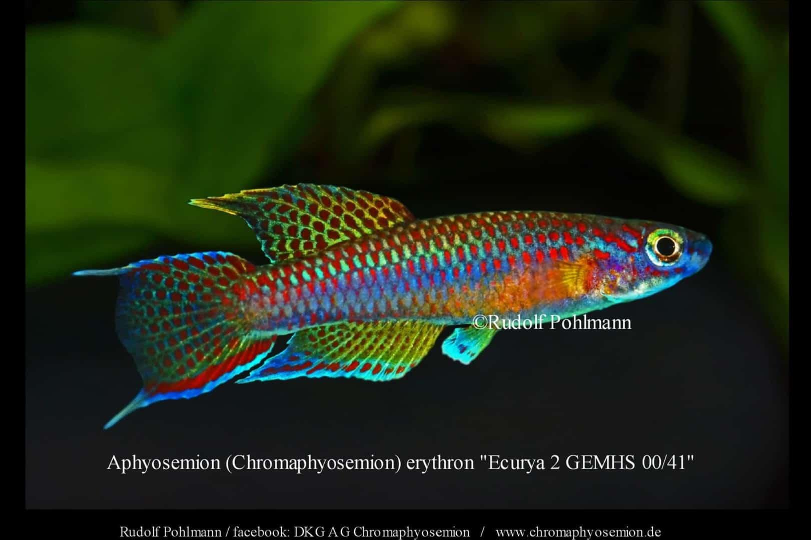 Aphyosemion (Chromaphyosemion) erythron – Erythron Zweistreifen Prachtkärpfling 3