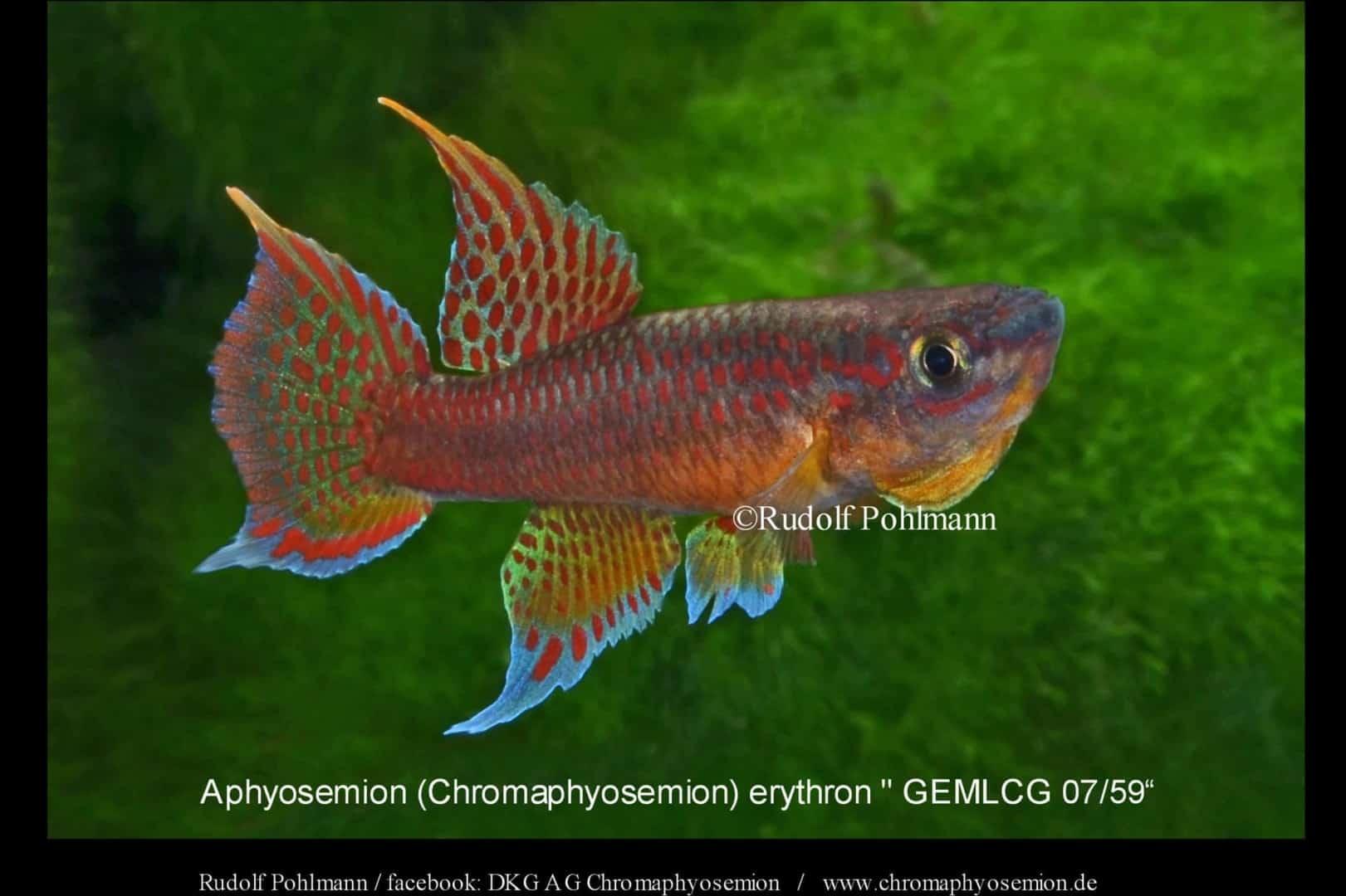 Aphyosemion (Chromaphyosemion) erythron – Erythron Zweistreifen Prachtkärpfling 2