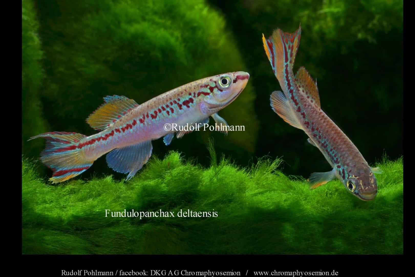 Fundulopanchax deltaensis - Delta Prachtkärpfling 3