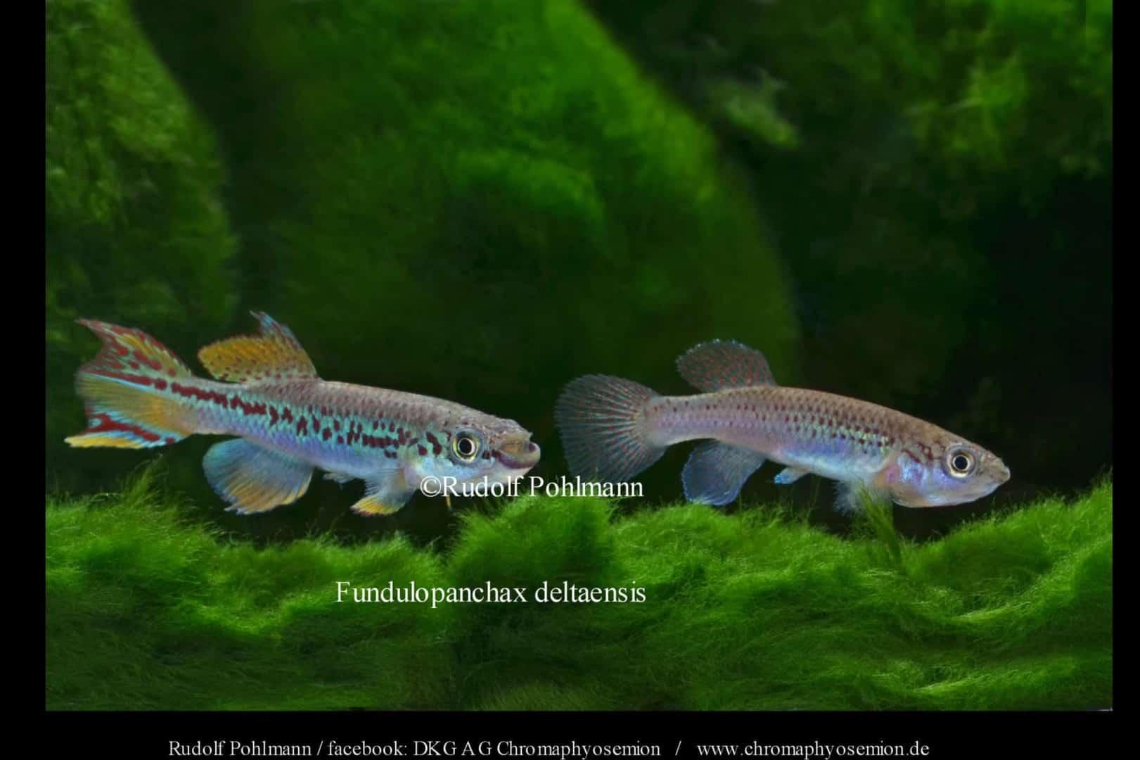 Fundulopanchax deltaensis - Delta Prachtkärpfling 2