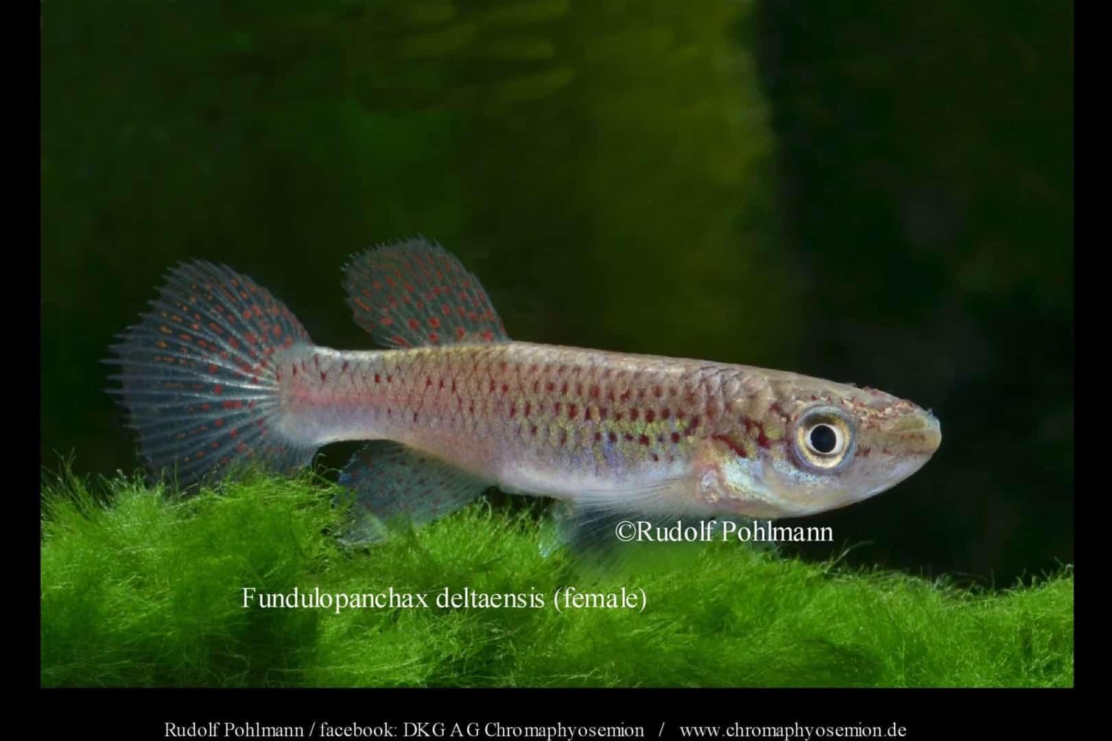 Fundulopanchax deltaensis - Delta Prachtkärpfling 1
