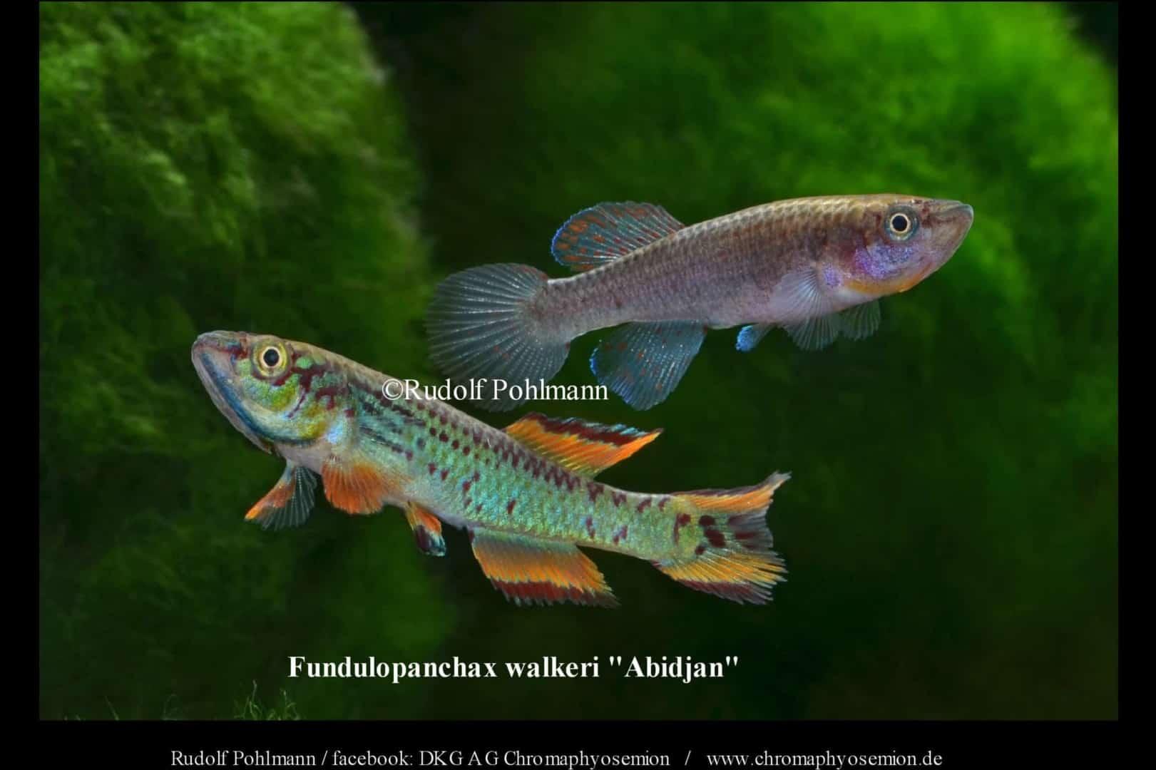 Fundulopanchax walkeri – Walker Prachtkärpfling 2