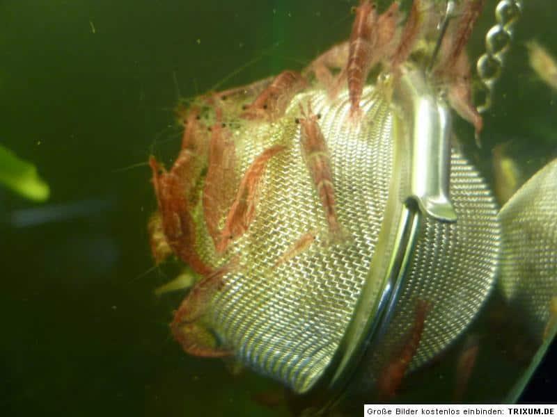 Gerstenstroh Pellets gegen Algen im Aquarium 2