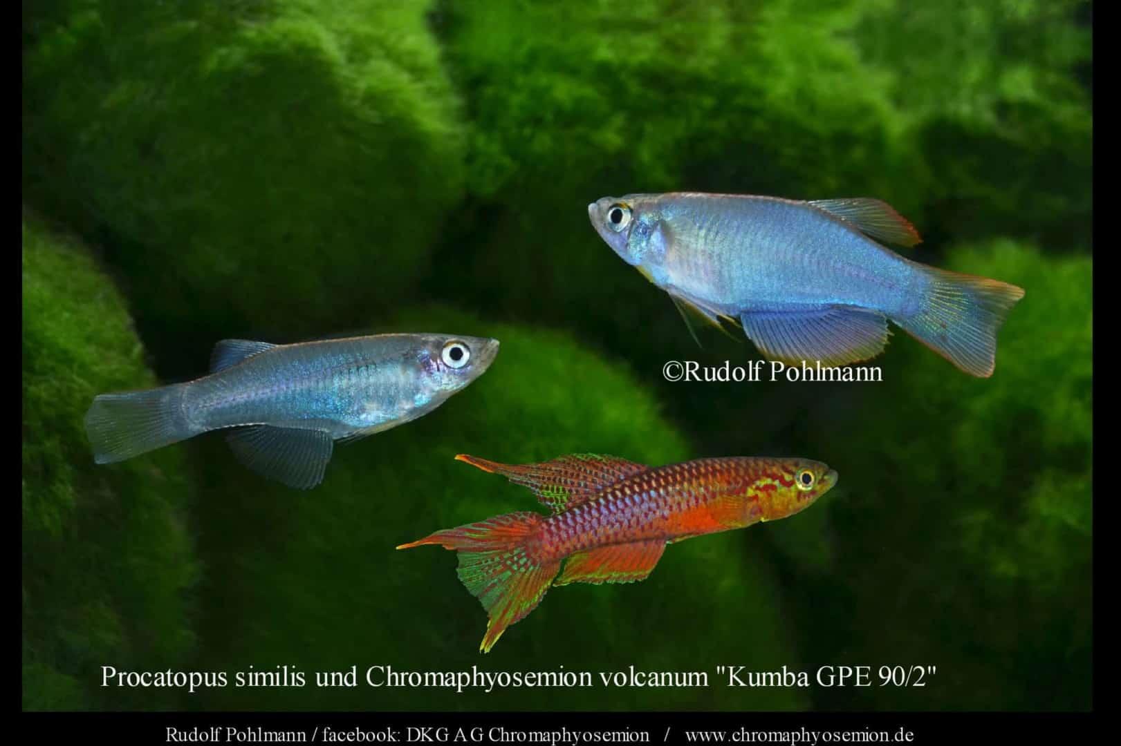 Procatopus similis – Similis breitflössiger Leuchtaugen 1