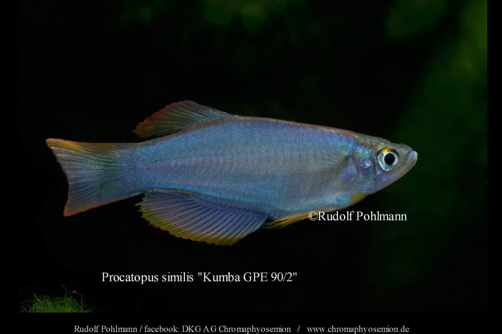 Procatopus similis – Similis breitflössiger Leuchtaugen 3